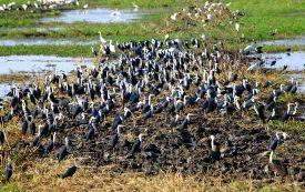 Birdlife at Fogg Dam