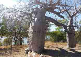 Gregory Tree
