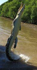 Jumping crocodile