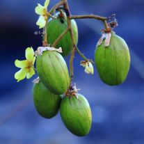 Kapok flower and fruit
