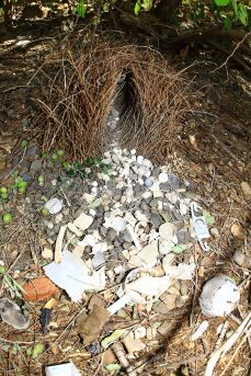 Lake Argyle Bowerbird bower