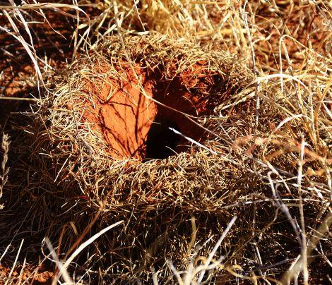 Mulga ant hole
