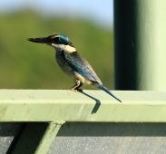 Kingfisher at Fogg Dam
