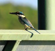 Kingfisher at Fogg Dam