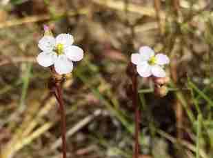 Sundew flower