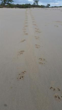 Crocodile tracks