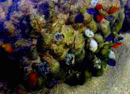 Christmas Tree worms on the coral reef