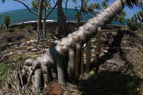 Pandanus tree roots