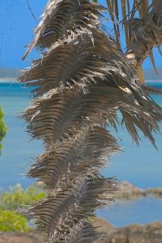 Corkscrew palm trunk