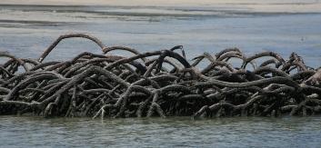 Mangrove tree roots
