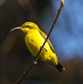 Yellow-bellied sunbird