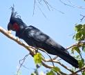 Palm Cockatoo