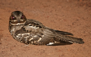 Longtailed Nightjar