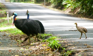 Cassowaries near Cow Bay