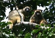 Lumholtz Tree Kangaroos