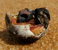 Turtle embryo in shell