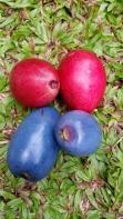 Cassowary plum