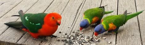 Birds on the deck in Grafton