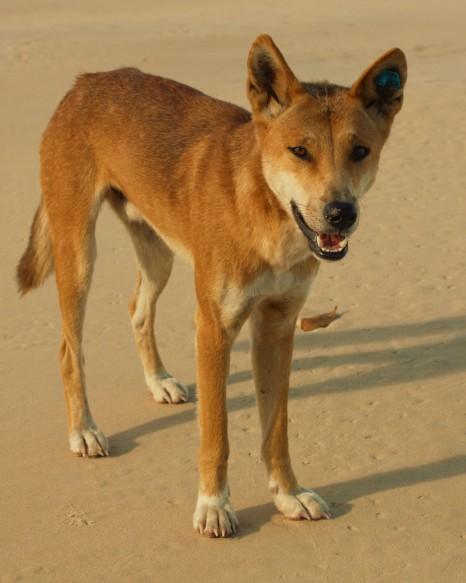 Dingo greeting