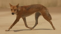 A timid dingo at Sandy Cape