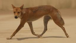 A timid dingo at Sandy Cape
