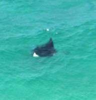 A manta ray cruising past below us