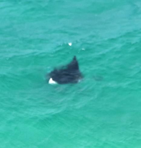 A manta ray cruising past below us