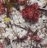 Sundew at lake Allom