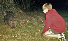 Face to face with a wandering wombat