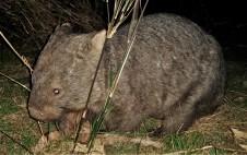Wombat visitor