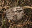 Baby Tawny Frogmouth