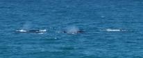 Noosa whales