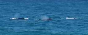 Noosa whales