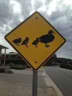 Ducklings!