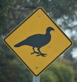 Mallee Fowl